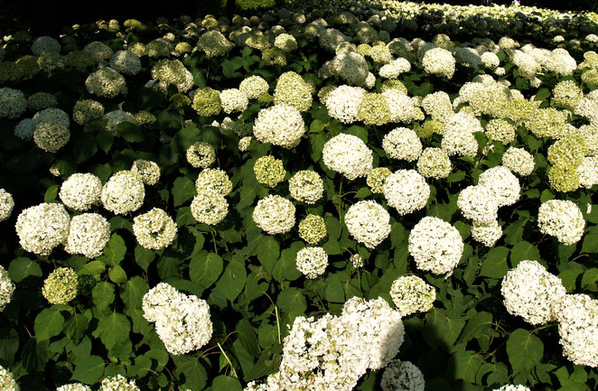 あじさい鍼灸マッサージ治療院 相模原北公園の紫陽花