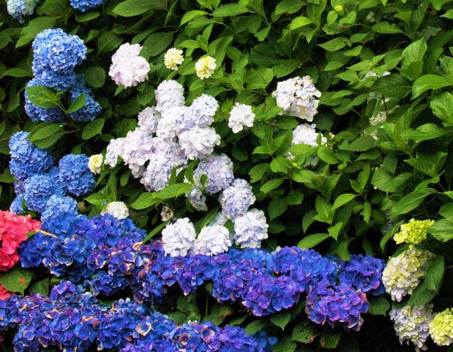 あじさい鍼灸マッサージ治療院 多様な色の紫陽花