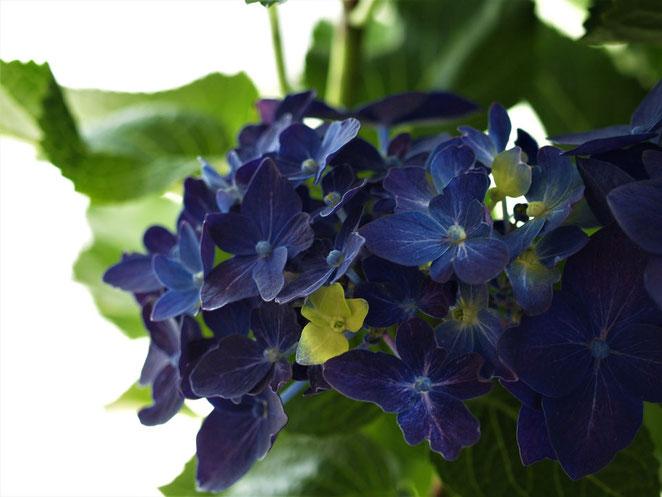 あじさい鍼灸マッサージ治療院 5周年記念の紫陽花