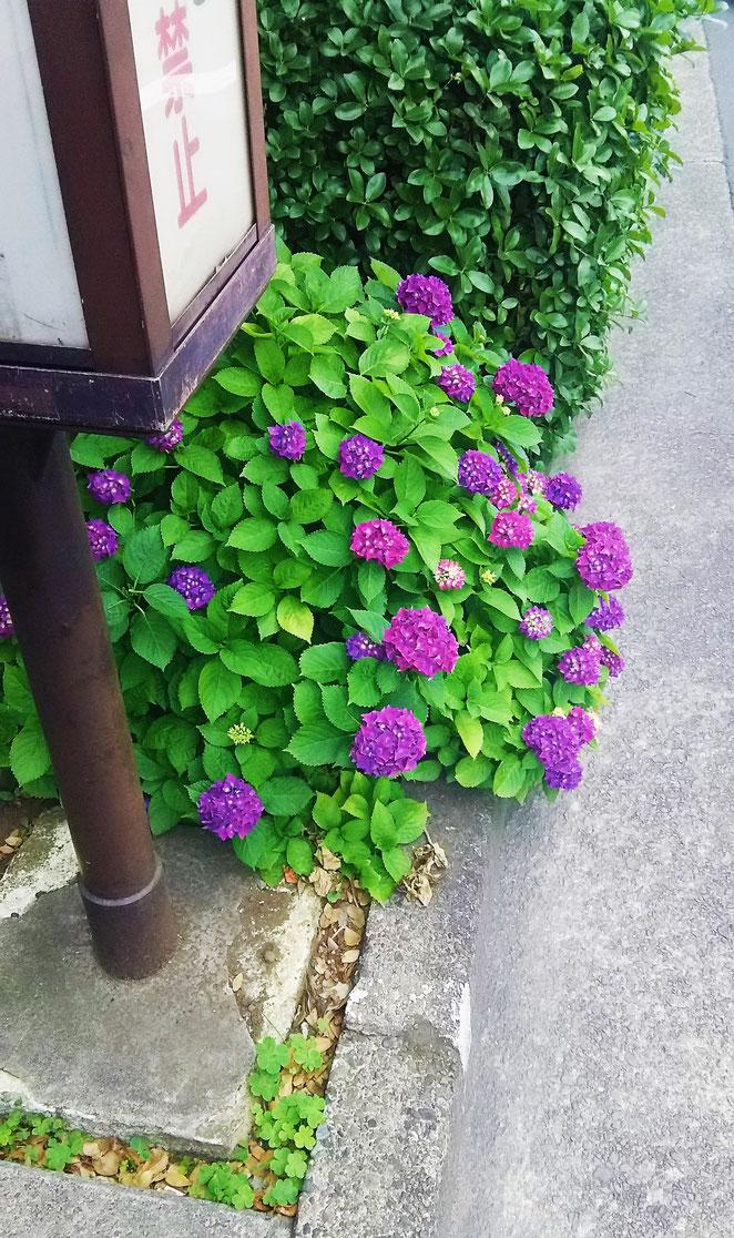 近所に咲いた紫陽花。