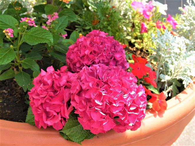 あじさい鍼灸マッサージ治療院 紫陽花の花
