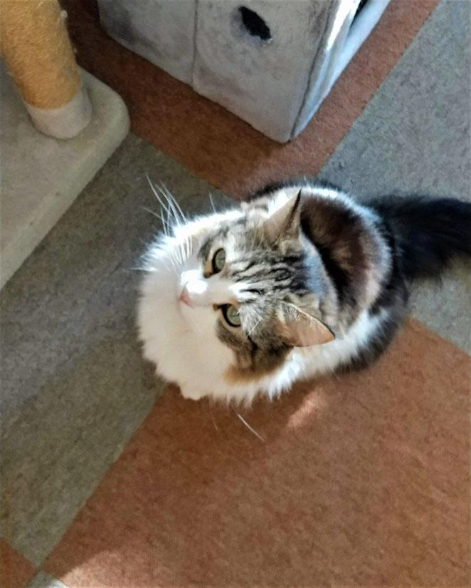 あじさい鍼灸マッサージ治療院 猫カフェ上を見る猫