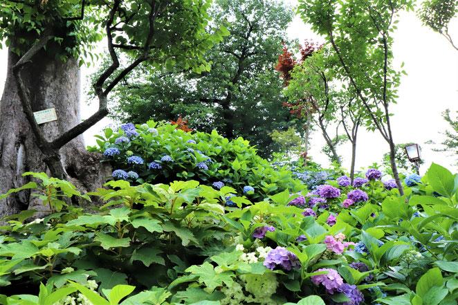 あじさい鍼灸マッサージ治療院 白山神社古墳 紫陽花に囲まれた道を登ります