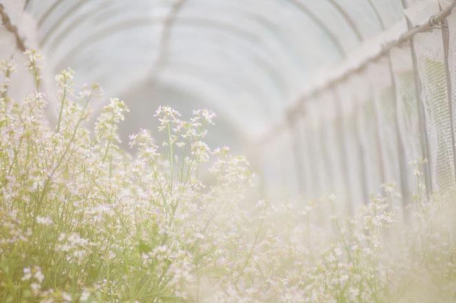 ネットトンネルの中でたくさんの花を咲かせる山口大根。