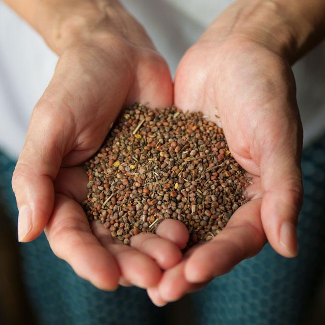 「山口大根」の種子。