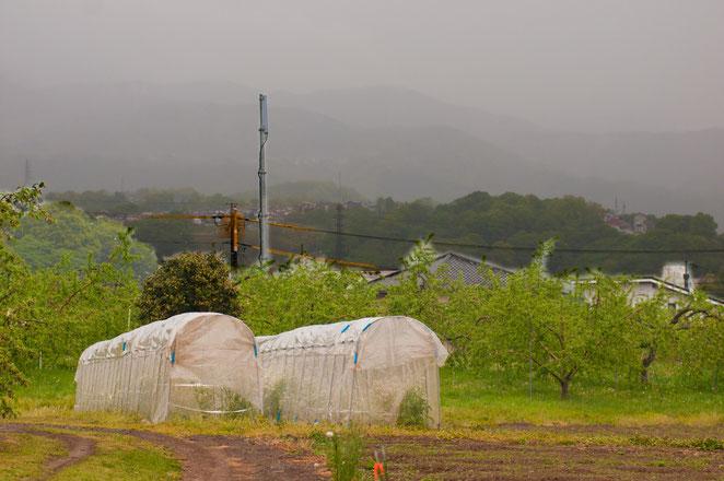 りんご畑に守られているように囲まれた採種場。