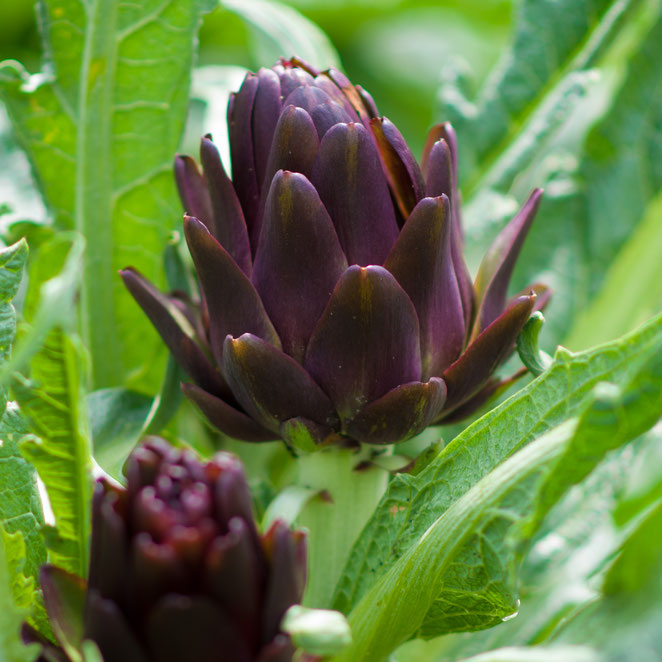 carciofi violet di Provance