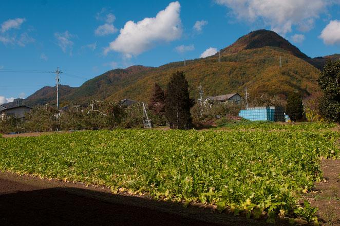 太郎山と山口大根の畑