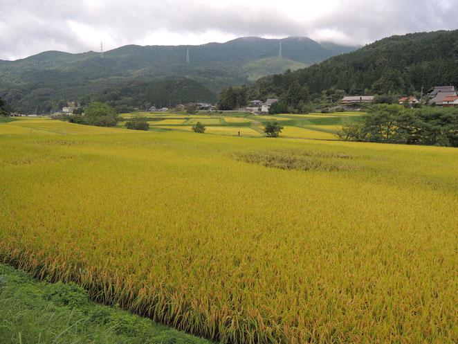 新見市千屋花見の9月初旬の景色。稲穂が黄金色に染まっています。