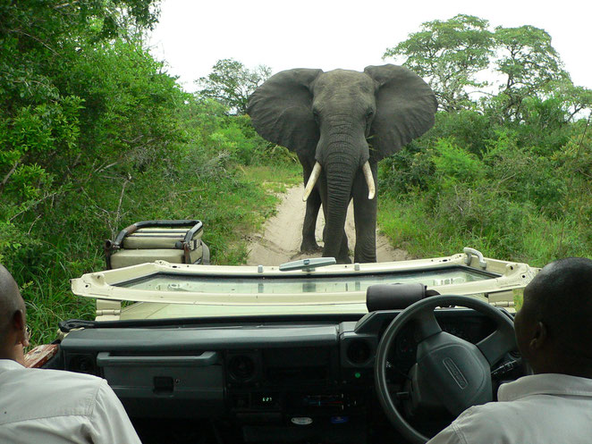 Elefant steht, begutachtet uns ...
