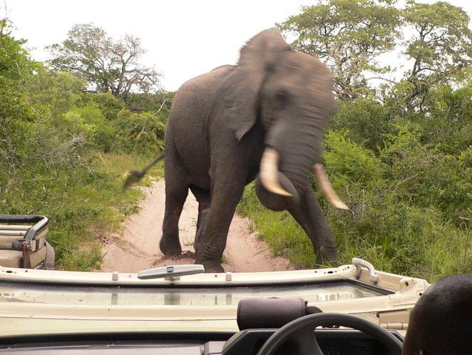 Elefant geht
