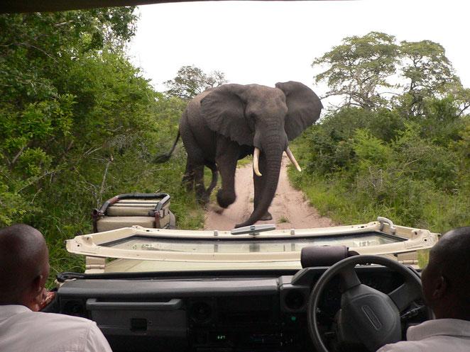 Elefant kommt
