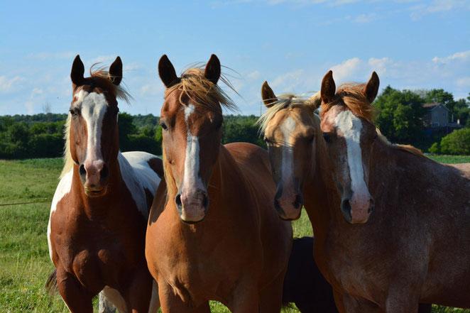 jument hongre paint horse avec des poulains dans un paturage en été a l'écurie kalin