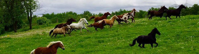 troupeau de chevaux en liberté au galop dans un paturage a l'écurie kalin