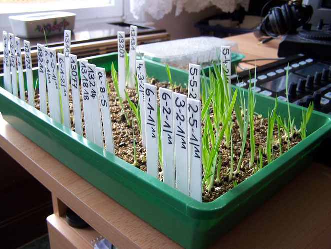 Seed-Cutting - Cut seed after 4 weeks - iriszucht.de