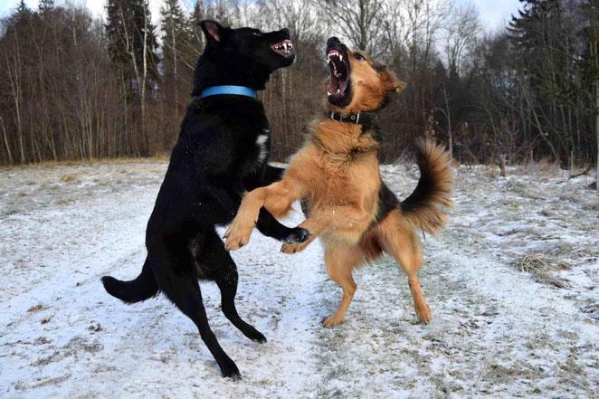Bevor Ihr Hund beißt, lernen Sie Ihn richtig einzuschätzen. Was ist Spiel und was Ernst.