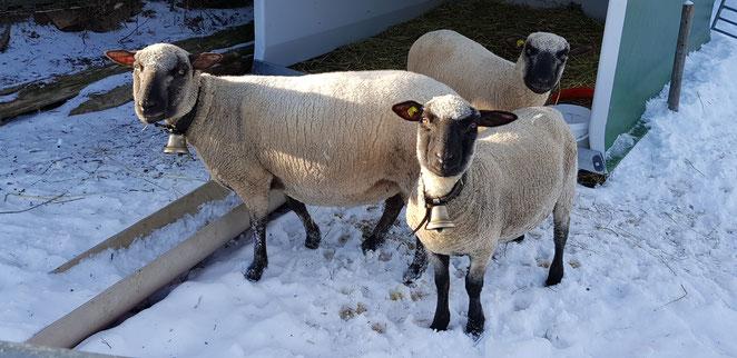 Shropshire Schafe: Aue mit Lämmern