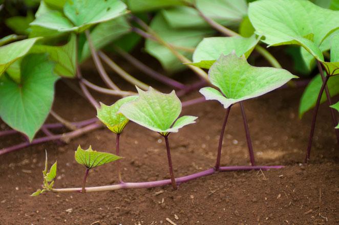 サツマイモ「人参イモ」の蔓