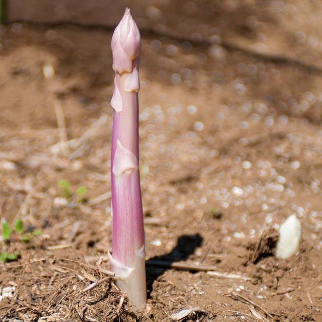 ピンク・アスパラガス