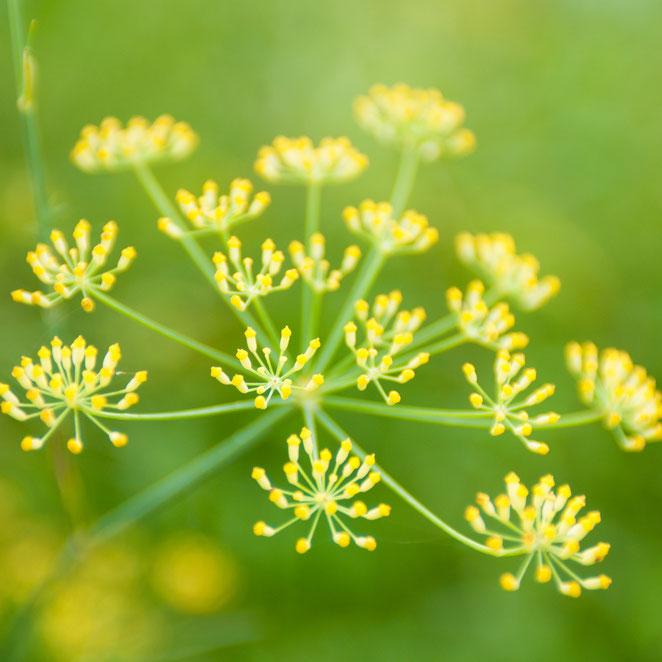 フィノキエット(ワイルド・フェンネル)の花