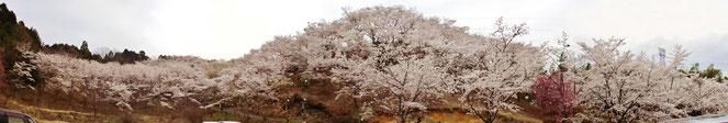 桜名所穴場満開