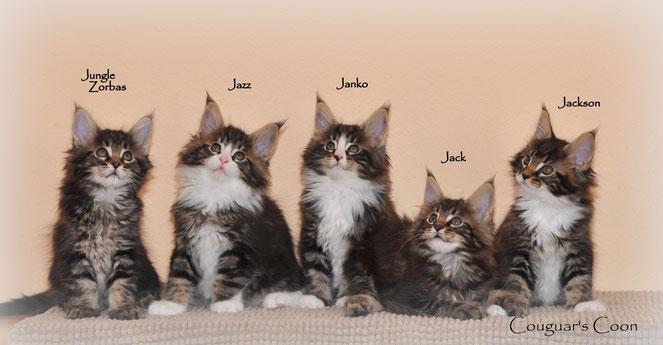 chatons maine coons à vendre suisse habitués aux chiens