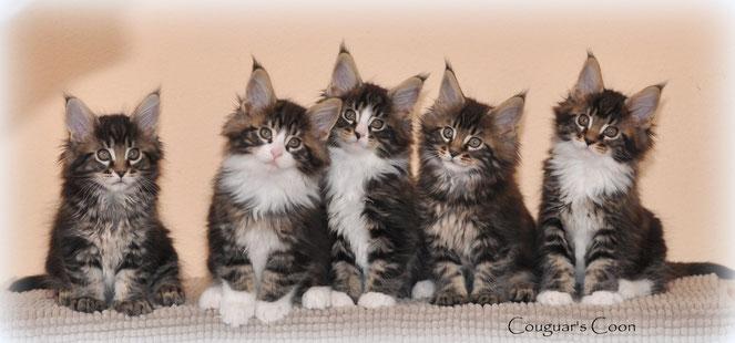 chatons maine coons à vendre suisse habitués aux chiens vivent en parfaite harmonie