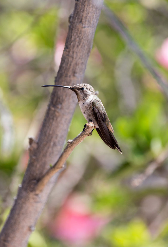 Humming bird resting in a tree, picture made in a garden in Arica, Pacific coast, Northern Chile, 1238x1820px