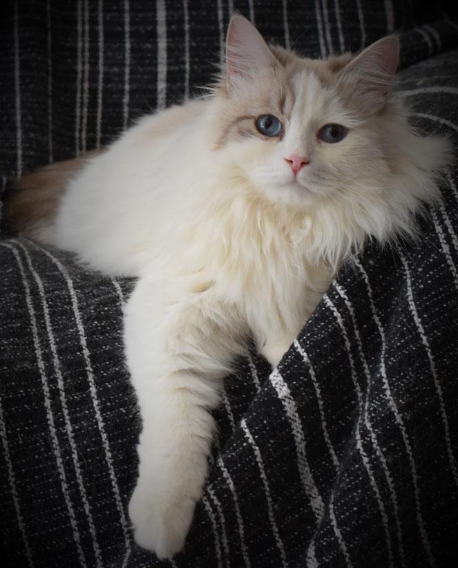 Gatto Siberiano allevamento gatto siberiano