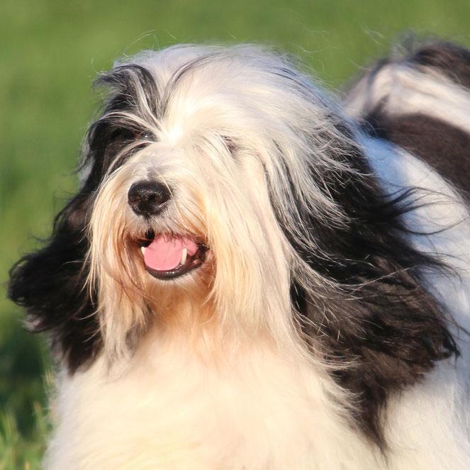 Tibet Terrier Deckrüde, schwarz-weiß, November 2020