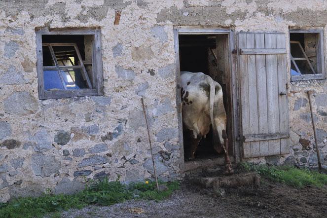 Kuh die in den Stall geht