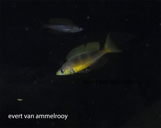 Cyprichromis, Cyprichromis microlepidotus, Cyprichromis microlepidotus kigoma, microlepidotus, kigoma,