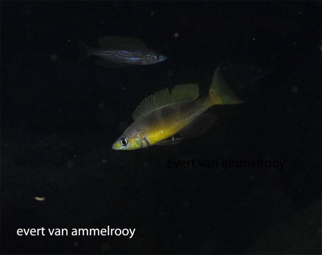 Cyprichromis, Cyprichromis microlepidotus, Cyprichromis microlepidotus kigoma, microlepidotus, kigoma,