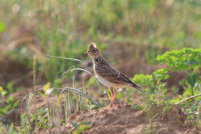 Vogel des Jahres 2019 - die Feldlerche (Foto: M. Eick)