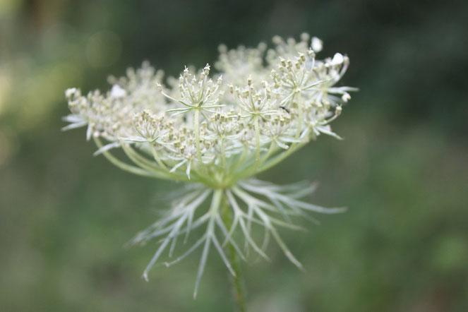 Carotte sauvage en fleur