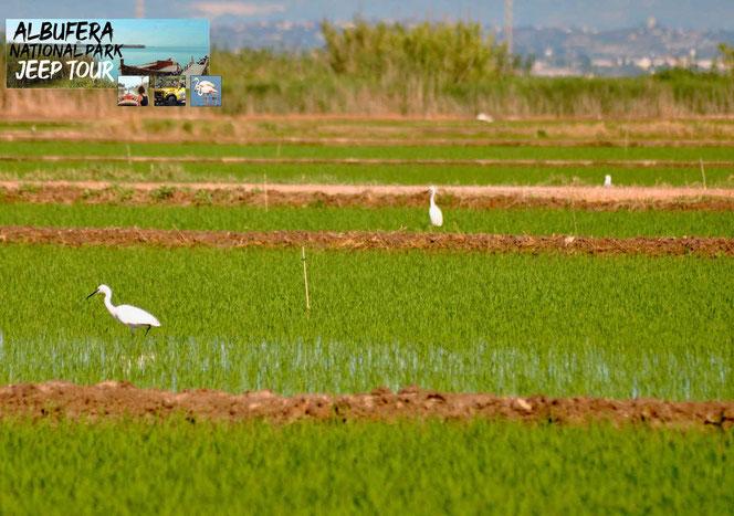 in der Umgebung von L'Albufera und die niedrige Wassertiefe des Albufera Sees, ermöglichten die landwirtschaftliche Umgestaltung für den Reisanbau.