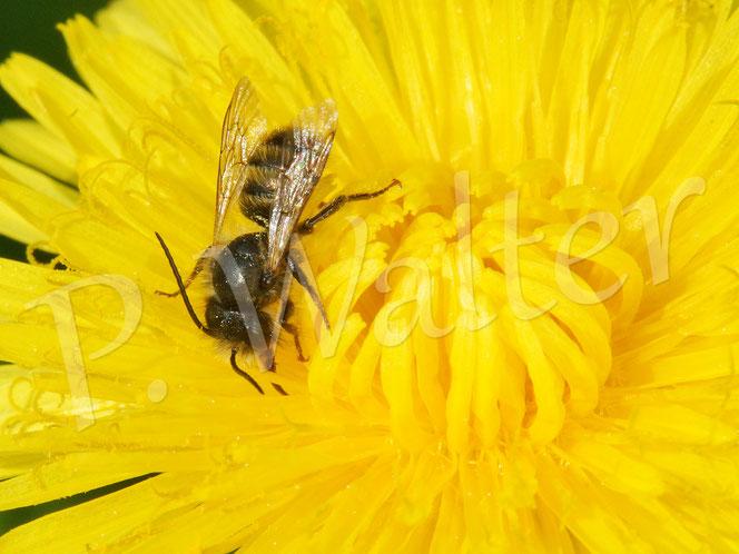 29.04.2018 : ein Männchen der Rostroten Mauerbiene trinkt Nektar des Löwenzahn