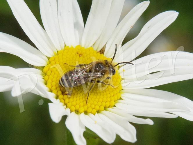 Bild: ein Seidenbienenmännchen, Colletes spec., auf der Wiesen-Margerite