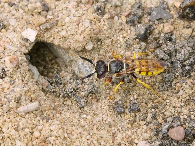 Bild: Bienenwolf, Weibchen, Philanthus triangulum, Fuge, Pflaster, Nistloch, Nesteingang