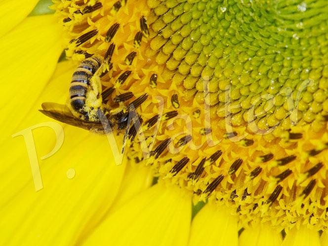 Bild: ein Weibchen der Gelbbindigen Furchenbiene, Halictus scabiosae, trinkt Nektar (sammelt vielleicht auch Pollen ?) am einer Sonnenblume