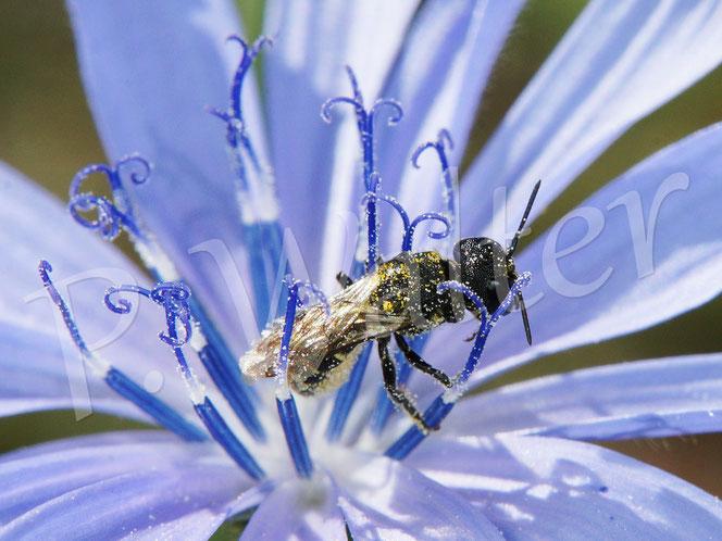 Bild: ein spätes, bzw. altes Löcherbienenweibchen, Osmia truncorum, an einer Wegwarte