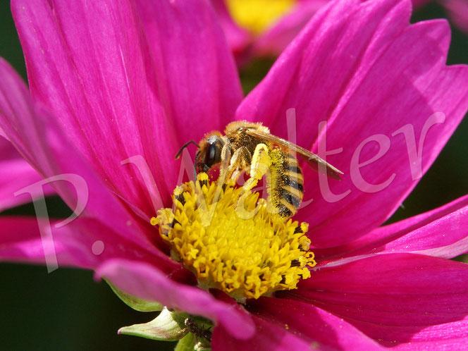 Bild: Weibchen der Gelbbindigen Furchenbiene, Halictus scabiosae, auf einer Cosmeenblüte, Cosmea
