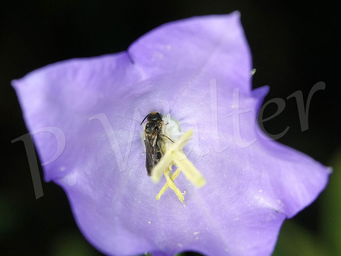 Bild: eine Glockenblumen-Scherenbiene, Osmia rapunculi, schläft in einer Blüte der Pfirsichblättrigen Glockenblume