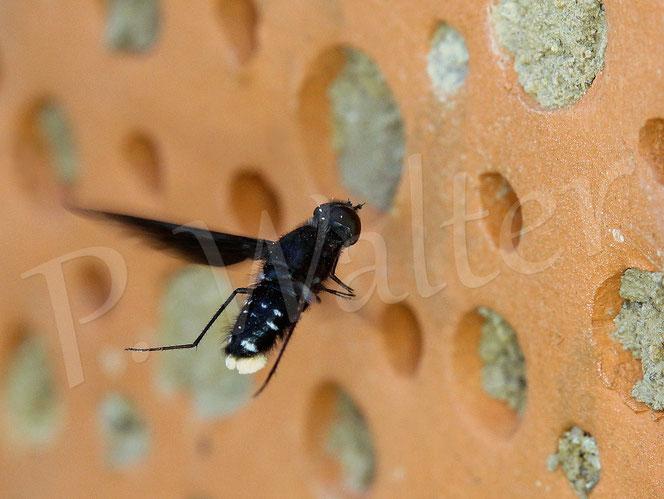 Bild: Trauerschweber, Anthrax anthrax, inspiziert Mauerbienennistverschlüsse