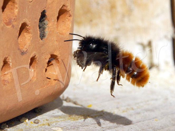 Bild: Gehörnte Mauerbiene, Osmia Cornuta, Weibchen, mit Lehmklumpen zum Verschließen des Nistgangs, Flug