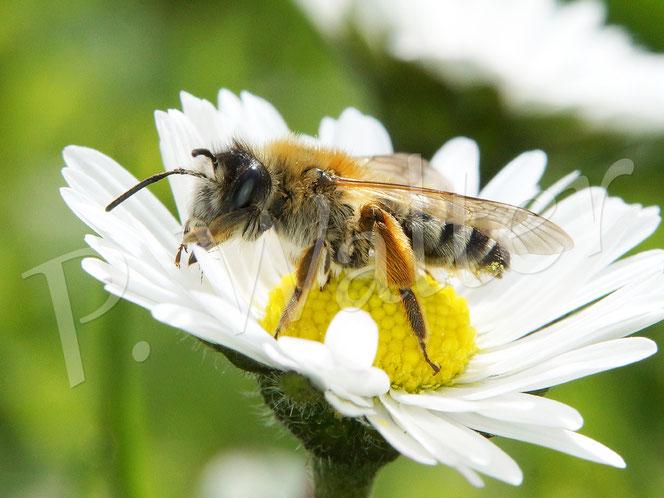 Bild: Bindensandbiene am Gänseblümchen