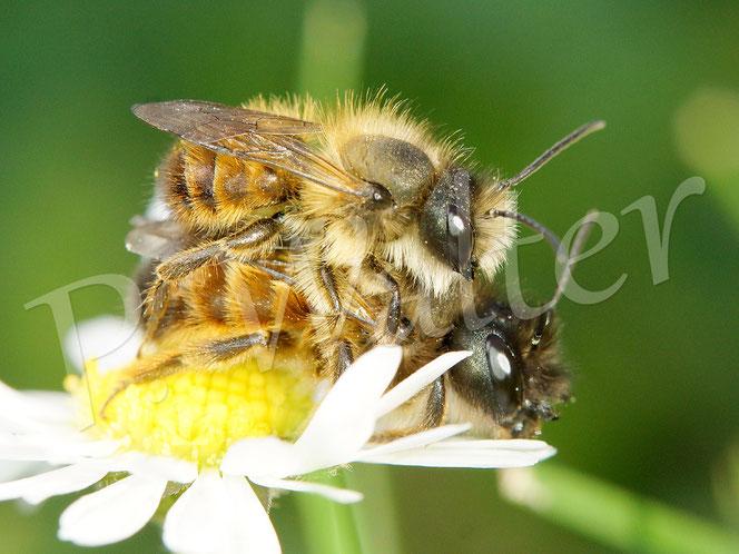 Bild: Pärchen, Paarung, Rostrote Mauerbiene, Osmia bicornis, Gänseblümchen