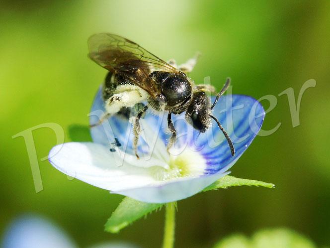 Bild: Furchenbiene am Gamander-Ehrenpreis