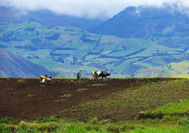 Pflügen mit Ochsen oder Kühen, gesehen auf dem Weg nach Cuenca.