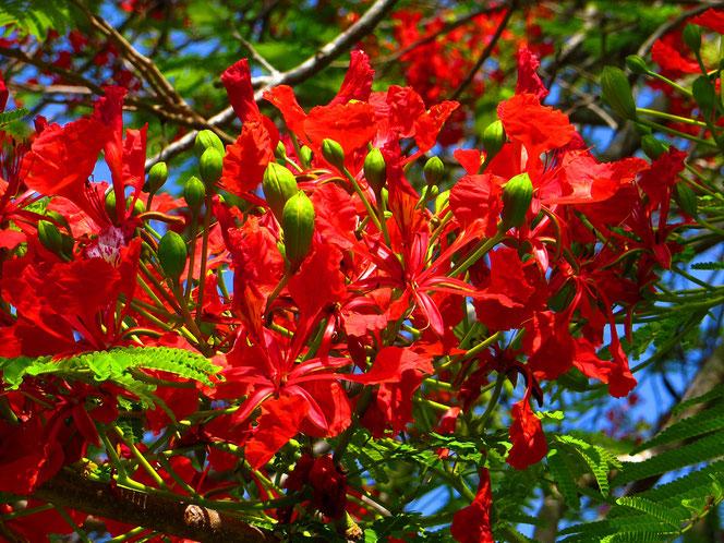 Blüten des Flammenbaums.